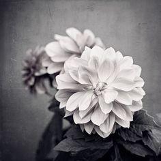 "Dahlia Print - black and white flower photography, grey dark gray nature photo, neutral modern wall art picture botanical decor, ""Dahlia"""