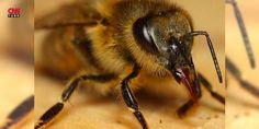 Arıların saldırısına uğrayan adam hayatını kaybetti: İzmir'in Ödemiş ilçesinde, arıcılık yapan 65 yaşındaki bir adam, açık bulunan kovanlardaki arıların sokması sonucu öldü.