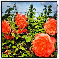 "Le rose vicino ai vigneti. #roncocalino #franciacorta #vino #wine #italianwine #rose #rosa #roses #nature #natura #colour #vineyards #vine #vigneti #vigna #orange #love #like #instapic #instawow #instawine #instalike #instalove #picoftheday #lovewine #winelovers #winepic #green"""