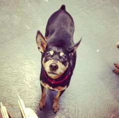 Meet Chi Chi a Petfinder adoptable Manchester Terrier Dog | Nyc, NY | Please VISIT OUR FACEBOOK PAGE AND WEBSITE for the latest Social Tees news!...