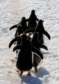 Gentoo Penguins so happy to be home in Antarctica