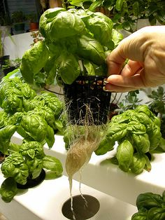 You may have some idea that pH is important, but you may not know why! Nutrients and pH go hand in hand in the your plants' development. If the pH of your nutrient solution is too high or too low, your plants may not be able to absorb nutrients essential to their successful growth. Today's post focuses on pH and nutrients in hydroponic systems! Home Hydroponics, Hydroponic Systems, Hydroponic Gardening, Gardening Tips, Urban Agriculture, Garden Plants, Ph, Diy Ideas, Clean Eating