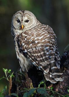 Barred Owl - one of these perched on our deck rail today!