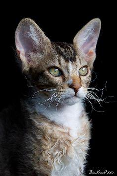 LaPerm cat by KristerP, via Flickr