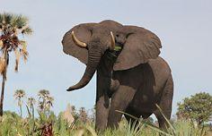 Olifanten zijn wilde dieren, en de toenemende vraag vanuit de toeristenindustrie leidt er toe dat er steeds meer olifanten op jonge leeftijd worden ontvoerd en vaak met bruut geweld getemd. Reden genoeg voor SNP om olifantenritjes geheel uit haar aanbod te schrappen evenals alle andere excursies waarbij wilde dieren uit hun natuurlijke omgeving worden gehaald en getraind om kunstjes te vertonen. www.snp.nl