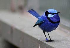 Little blue fairy wren How cute is this little bird? Pretty Birds, Love Birds, Beautiful Birds, Animals Beautiful, Animals And Pets, Cute Animals, Wild Animals, Blue Fairy, Tier Fotos