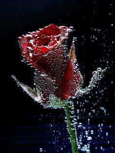 Beautiful Rose Flowers, Beautiful Flowers Wallpapers, Beautiful Love, Amazing Flowers, Candy Flowers, Red Flowers, Flower Phone Wallpaper, Fruit Photography, Rose Of Sharon
