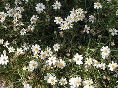Melampodium leucanthum (Blackfoot Daisy)