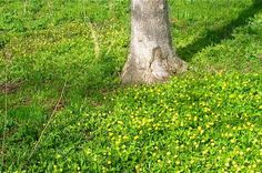 Early buttercup calico lawn