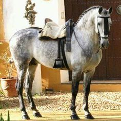 Lovely saddle and bridle on dapple horse Baroque Horse. He looks so much like the horses disney and other cartoons make!