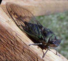 """Tibicen linnei Singzikaden, Cicada, Locust, Los cicádidos, Le nom vient du grec kiccos (membrane) et de ado (chanter), Le Cicadidi, จักจั่น, झ्याउँकिरी, 蝉(F蟬) [chán] cicada,  """"Glücklich leben die Zikaden, de,nn sie haben stumme Weiber"""".  griechischer Dichter Xenarchos"""