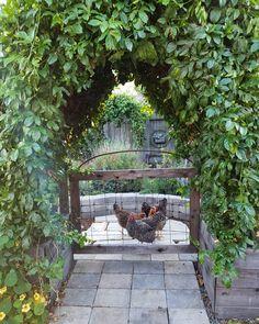 "Deanna ~ Central Coast of CA on Instagram: ""Morning rush hour at the Kalebucks drive thru ~ ""Four venti kaleppuccinos please!"" ☕🐓❤🌿"" Chicken Garden, Homestead Gardens, Rush Hour, Central Coast, Coops, Homesteading, Garden Ideas, Chill, Gardening"