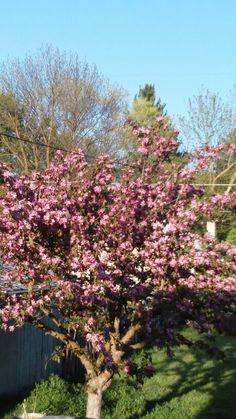 My crabapple tree
