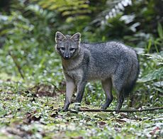 CRAB EATING FOX....aka the forest fox, wood fox, and the common zorro.....lives in the central part of South America in savannas, woodlands, subtropical forest, & shrubby thickets.....weighs 10 to 17 pounds and measures 24 to 28 inches long with a 12 inch tail