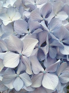 These delicate flowers make the grandest bouquet and are sensational in the garden.
