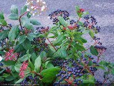 Viburnum tinus  'Gwenllian'   Floraison FMA ND  2 m  persistant   soleil mi-ombre  fruits bleus