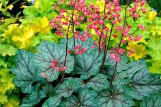 Peppermint Spice Coral Bells - Gorgeous silvery and plum-veined leaves nearly shimmer in the shade garden! Gorgeous rose-pink flowers dance above mounded foliage. Easily grown in borders or mixed containers. Shade Tolerant Plants, Shade Garden Plants, Shade Perennials, Shaded Garden, Flowers Perennials, Coral Bells Heuchera, Coral Bells Plant, Garden Express, Spice Garden