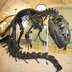 American Museum of Natural History (Allosaurus)