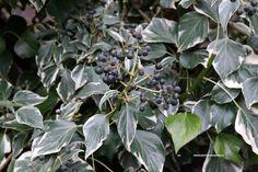 Hedera helix 'Cavendishii' = wintergroen struik uit de klimopfamilie, bontbladig, goed te snoeien, kan op alle grondsoorten.