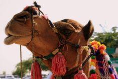 La photo du 12 octobre 2021 du site unoeilsurlaterre.com Jodhpur, Each Day, Photos Du, Camel, Animals, India, Animales, Animaux, Camels