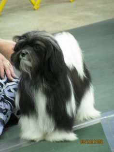 HAVANESE as the breed should look. We keep our 7 yr old puppy-clipped. Couldn't handle all that hair