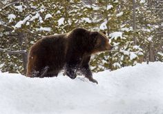 Beautiful bear...I thought they hibernated in the winter?
