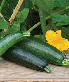 Fordhook Zucchini Summer Squash Seeds and Plants, Vegetable Gardening at Burpee.com