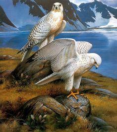 Gyrfalcons, Greenland by Roger Tory Peterson