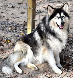 beautiful Native American Indian Dog