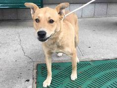 07/13/2016 SUPER URGENT Brooklyn center NYC ADOPT ex-pet CHIQUIS – A1080341 FEMALE, TAN, ALASKAN HUSKY / AM PIT BULL TER, 5 yrs OWNER SUR – EVALUATE, NO HOLD Reason PERS PROB Intake condition EXAM URGENTLY REQUIRED by an interested person to determine health and temperament before adoption can take place. Intake Date 07/07/2016, From NY 11220, DueOut Date 07/07/2016, I came in with Group/Litter #K16-064514, came in with two other dogs, Panda and Princess.