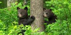 Black bear spring cubs in green leaves; taken in wild in Minnesota. By Nathan Lovas Animals And Pets, Baby Animals, Cute Animals, Animal Babies, Beautiful Creatures, Animals Beautiful, Black Bear Cub, Wooly Bully, Wild Creatures