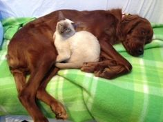 I cannot believe it.  Looks like my Irish Setter Mehgan and my cat Kimba some 20 yeas ago.