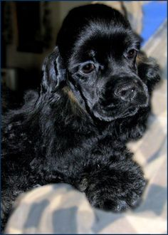 Special place in my heart for Black cocker spaniels. So much like my Bella!