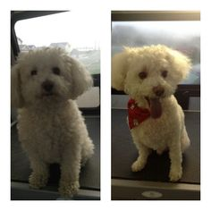 Before and After! Bailey had a spawriffic day out in Newfoundland!  http://www.aussiepetmobile.ca/locations-map/newfoundland-labrador/