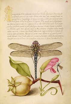 * Dragonfly, Pear, Carnation, and Insect Mira calligraphiae monumenta Joris Hoefnagel, illuminator; Georg Bocskay, scribe Flemish and Hungarian, illumination 1591-1596, script 1561-1562 Watercolors, gold and silver paint, and ink on parchment