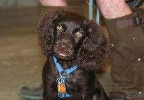 Carolina Boykin Spaniel Photos  Such Beautiful Dogs - The Eyes are Amazing
