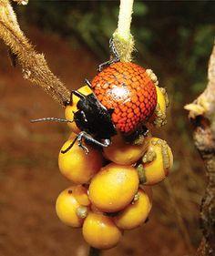 Besouro (Doryphora reticulata): espécie ameaçada de extinção. Endangered specie. Fonte: http://smithsonianscience.org/2013/09/beetle-moms-show-clear-signs-of-maternal-instincts-and-care/