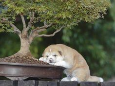 Akita-inu...one of the best photos featuring a baby Akita-inu!