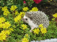 european hedgehog wild animals in poland pinterest hedgehogs wild animals and animal. Black Bedroom Furniture Sets. Home Design Ideas