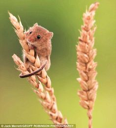 Jack Merrett's image of a harvest mouse on top of an ear of corn was one of more than 6,00...