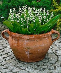 Container plant~Lily of the Valley in a container. This looks good and prevents its spreading, too.