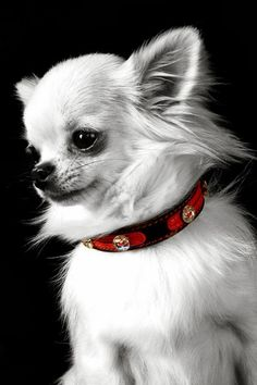 Looks just like my Yannie, except black. Too adorable! #chihuahua…