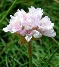 Flores ornamentales: Armeria vellosa (Armeria pubigera)