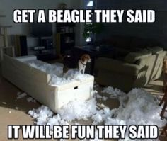 Funny pictures about Get a Beagle. Oh, and cool pics about Get a Beagle. Also, Get a Beagle. Art Beagle, Beagle Funny, Beagle Dog, Funny Dogs, Silly Dogs, Funny Animal Pictures, Funny Animals, Cute Animals, Animal Pics