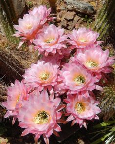 Torch Cacti by Dawn Hagler on Capture My Arizona // Taken at the Arizona-Sonora Desert Museum