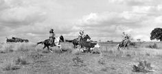 Rounding Up Cattle-Texas Rangers  checking marks and brands for stolen cattle in 1951 at the Ft. Hood reservation in Texas.