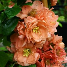 Find Cornish plants for every garden - Plant A-ZDuchy of Cornwall Nursery Geisha, Flowering Bushes, Trees And Shrubs, Chaenomeles, My Flower, Amazing Gardens, Outdoor Gardens, Vines, Seeds