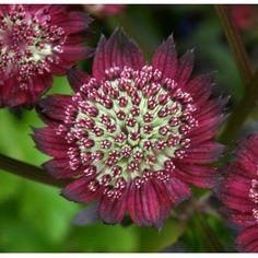 Stjärnflockan Moulin Rouge med handflikigt och mörkt grönt bladverk. Den blommar med mörkröda blommor i juni-augusti. Blir ca 40 cm hög och trivs även den i sol till halvskugga.
