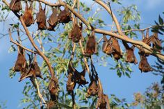 A colony of little red flying foxes in trees in Barcaldine in central-west Queensland in June 2011