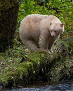 Kermode or SPIRIT Bear in the Great Bear Rainforest of Northern BC by BillBickle.com Very Close to where the proposed Pipeline from Alberta is scheduled.